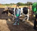 foto's met de koe van de avond4daagse.