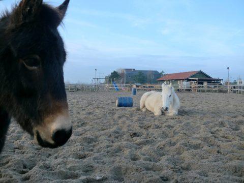 Droge voeten voor de pony's